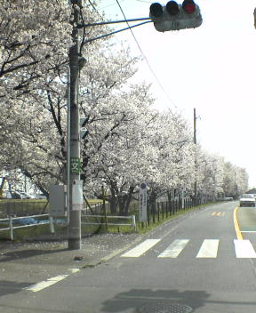 桜@多摩川沿い